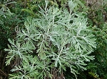 WORMWOOD ESSENTIAL OIL- 1 oz