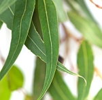 EUCALYPTUS ESSENTIAL OIL, 1 oz.