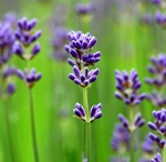 LAVENDER ESSENTIAL OIL -1 oz